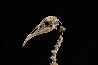 Hawkins's rail - Skull from the collection of Auckland Museum