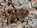 Diarsia brunnea - Purple clay - Земляная совка черничная (40371439804).jpg