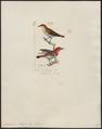 Dicaeum maugei - 1820-1860 - Print - Iconographia Zoologica - Special Collections University of Amsterdam - UBA01 IZ19000275.tif