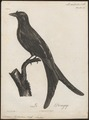 Dicrurus lophorhinus - 1796-1808 - Print - Iconographia Zoologica - Special Collections University of Amsterdam - UBA01 IZ16400083.tif