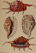 Die Flügelschnecken (Strombea) - in Abbildungen nach der Natur mit Beschreibungen (1845) (20888850646).jpg