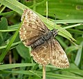 Dingy Skipper. Erynnis tages (49212734337).jpg