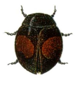 Diomus-notescens.jpg
