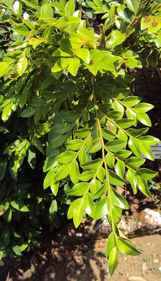 Diospyros - Diospyros buxifolia leaves