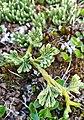Diphasiastrum alpinum stem (03).jpg