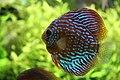 Discus aquarium tropical porte dorée - 002.JPG