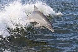 Dolphin,2007-4-13.jpg