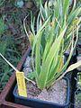 Domaine du Rayol - Dracaena draco seedlings.jpg