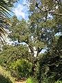 Domaine du Rayol - Quercus suber.jpg
