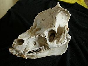 Domestic pig - Domestic pig skull