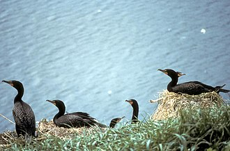 Double-crested cormorant - Image: Double crested Cormorants Nesting
