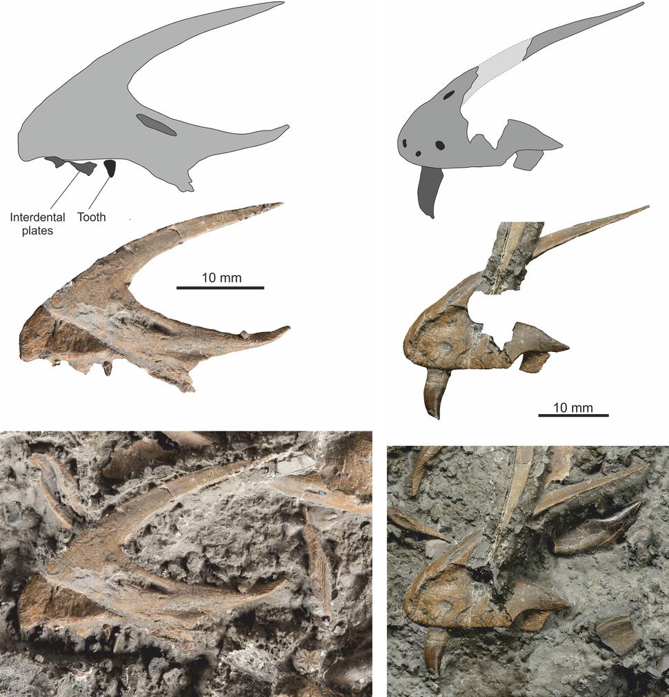 Dracoraptor premaxillae
