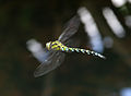 Dragonfly in flight 5 (1351481586).jpg