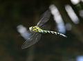 Dragonfly in flight 5 (1351481586).jpg