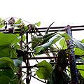 Dregea sinensis - Fruits.jpg