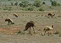 Dromaius novaehollandiae, Flinders Ranges 1.jpg