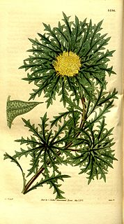 <i>Dryandra</i> ser. <i>Armatae</i> Obsolete series within the former genus Dryandra