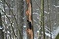 Dryocopus martius in the Teufelsbruch 2021-02-10 11.jpg