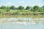 Duck farm in Can Tho (14219983276).jpg