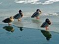 DucksHannover.jpg