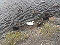 Ducks - panoramio - ColleenMartin-).jpg