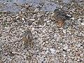 Ducks by the river at Frank's Bridge - geograph.org.uk - 943638.jpg