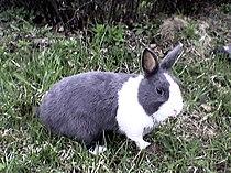 Dutch rabbit.jpg