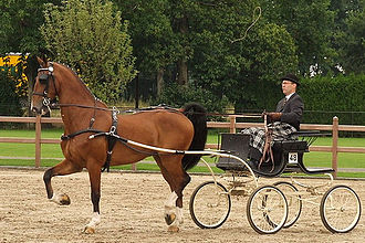Dutch Harness Horse - Dutch Harness Horse at a horse show in the Netherlands