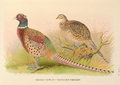 Eastern Chinese Ring-necked Pheasant by H. Jones.png