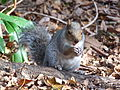 Eastern Gray Squirrel in Singleton Park, Swansea 21 Oct 2007 02.jpg