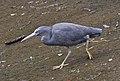 Eastern Reef Egret in Humpbybong Creek-03 (6108068596).jpg