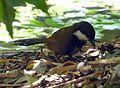Eastern Whipbird. Male. Psophodes olivaceus (15619010680).jpg