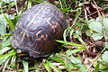 Eastern box turtle durhamnc 20130721.jpg