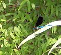 Ebony Jewelwing Damselfly Umstead SP NC 5718 (4780013743) (2).jpg