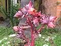 Echeveria rubromarginata inflorescence.jpg