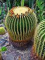 Echinocactus grusonii 002.jpg