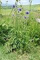 Echinops setifer ja 02.jpg