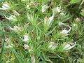 Echium aculeatum0.jpg