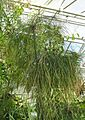 Echter Papyrus (Cyperus papyrus) 1.jpg