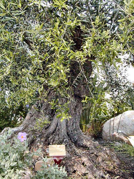 Файл:Eden Olive Tree.jpg