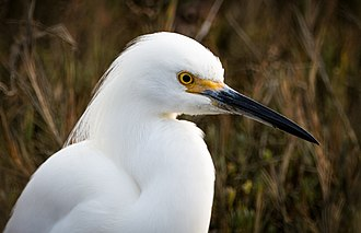 Snowy egret - Image: Egretta thula (head shot)