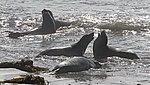 Elephant Seals 3 (14956358794).jpg