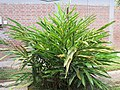 Elettaria cardamomum (Cardamon) tree in RDA, Bogra 04.jpg