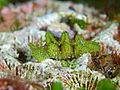 Elysia tomentosa, Kushimoto.jpg