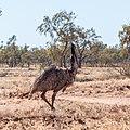 Emu Burke River floodplain Boulia Shire Queensland P1060867.jpg