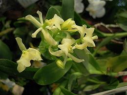 Epidendrum difforme