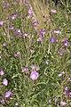 Epilobium hirsutum vallee-de-grace-amiens 80 21072007 1.jpg