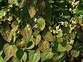Epimedium pubigerum a2.jpg