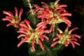 Erica abietina subsp. abietina 1DS-II 1-8819.png