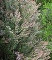 Erica arborea - panoramio.jpg